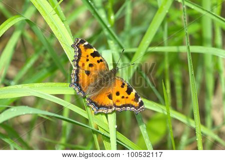 Butterfly urticaria closeup