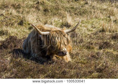 Scottish Highlander Scotland