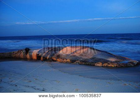 Beached Finback Whale