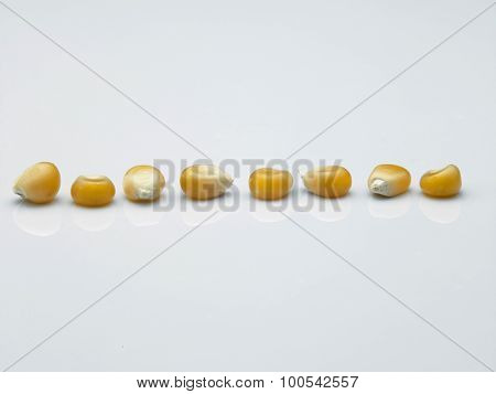 corn yellow corn for popcorn