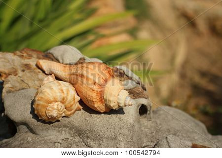 Conch Shell On Brown Stone At The Garden.