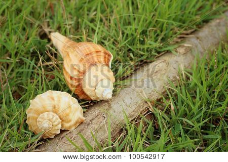 Conch Shell On A Background Of Green Grass.