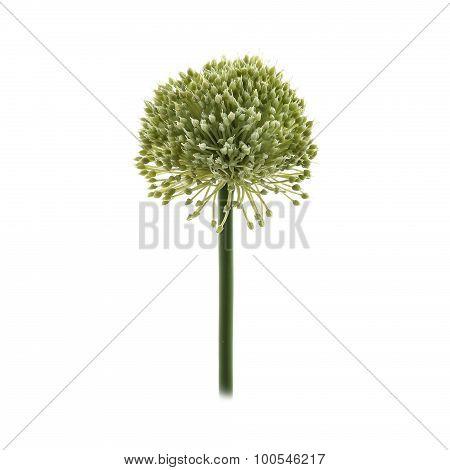 Artificial green Allium flower