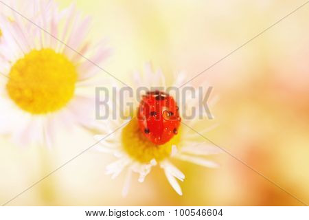 Ladybug on flower, closeup