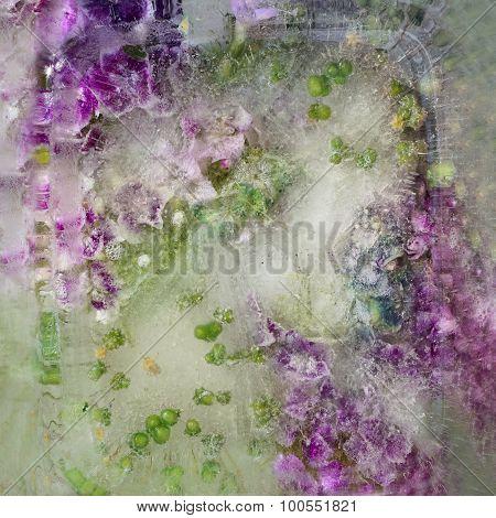 Background Of   Sweet William  Flower Frozen In Ice