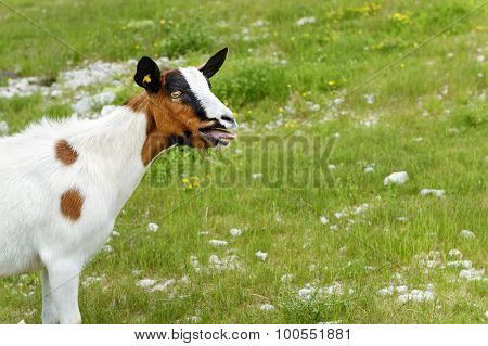 Bleating Goat