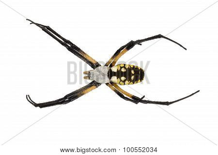 Female Black And Yellow Garden Spider On White