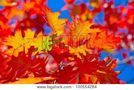 Autumnal leafs against deep blue sky