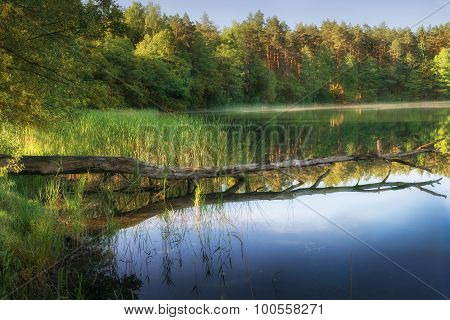 Blown down tree in the water