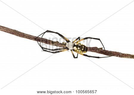 Orb Weaver Spider And Twig On White