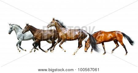 Purebred Horses Isolated