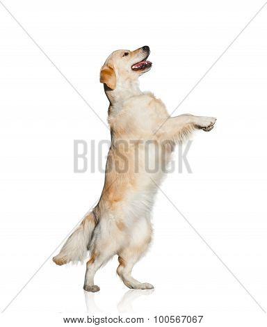 Golden Retriever Dancing