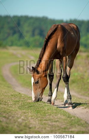 Purebred Foal Is Eating Grass In Summer Pasture