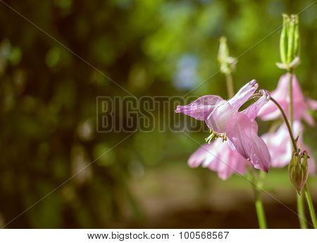 Pink Beautiful Flowers Bells On Blurred  Green Background