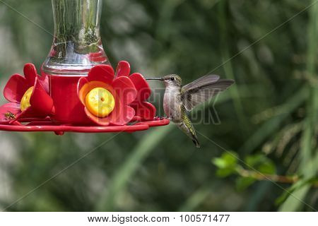 Female Red Throat Hummingbird at a Backyard Feeder