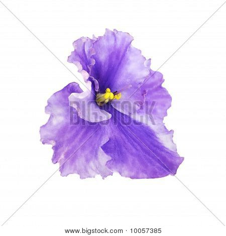 Isolated Violet