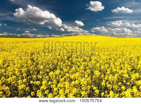 Golden Field Of Flowering Rapeseed With Beautiful Clouds