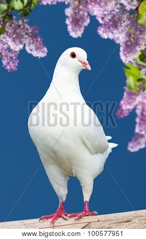 One White Pigeon