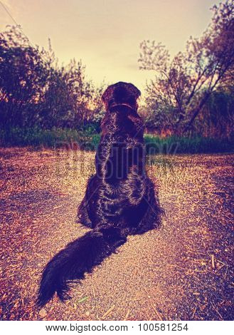 a big black labrador retriever mix looking at the sunset on a river or lake surrounded by trees toned with a retro vintage instagram filter app or action effect