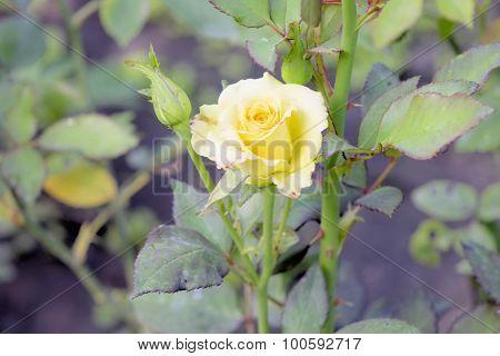 Yellow Rosa.