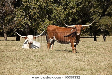 Longhorn Cows In A Field