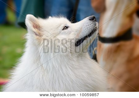 Portrait Of Pyrenean Mountain Dog (great Pyrenees)