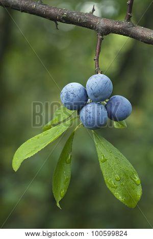 Sloe Fruit at Blackthorn Tree