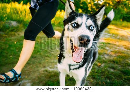 Young Happy Husky Eskimo Dog Runs Next to Mistress On Fresh Gree
