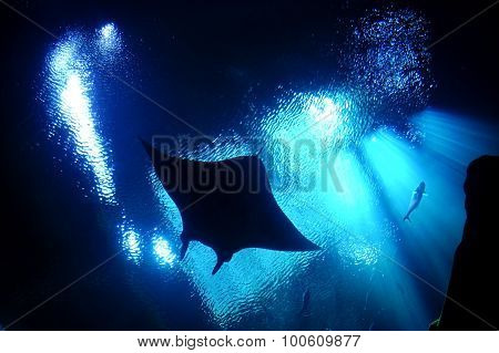 Underwater stingray