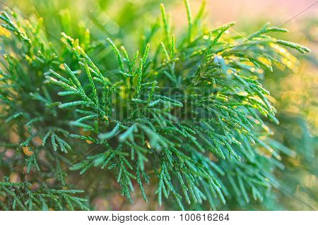 Juniper Close Up