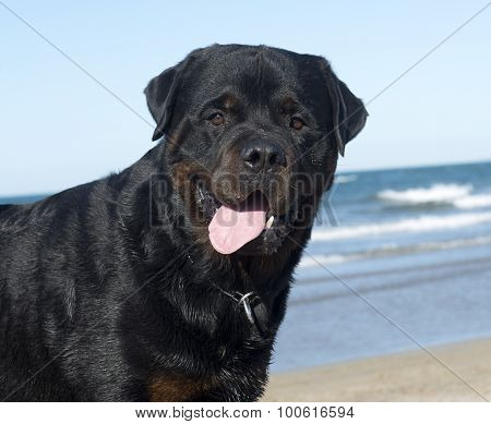 Rottweiler On The Beach