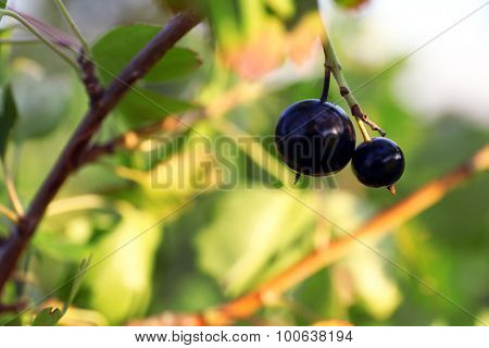 Branch of black currant close up