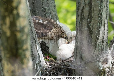 Cooper-s Hawk Feeding Chicks