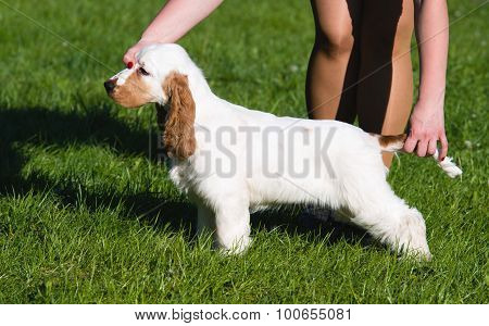English Cocker Spaniel exterior.