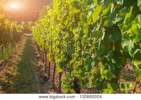 Vineyards and grapes at sunset in autumn harvest