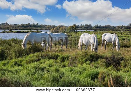 Herd of white horses grazing in a meadow near the lake. Summer evening in the Camargue national park. Rhone Delta, Provence