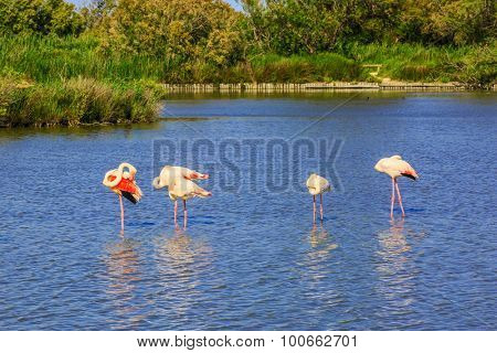 Sunset in the national park of Camargue in  delta of Rhone.  Flock of pink flamingos in the shallow channel