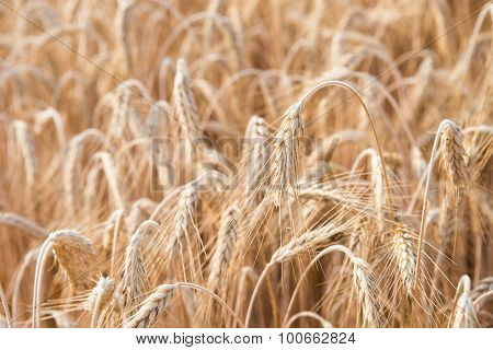 Cereal Plants, Barley, With Different Focus.