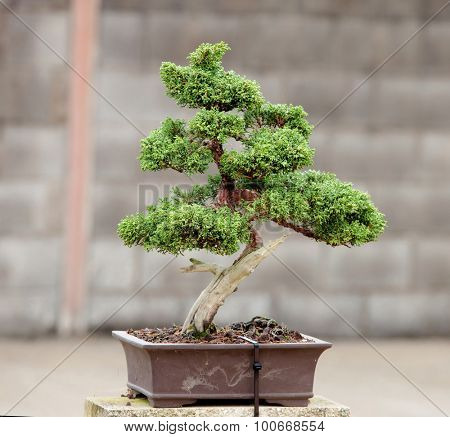 Nice bonsai in the garden of a house
