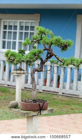 Nice bonsai in the garden of a blue house