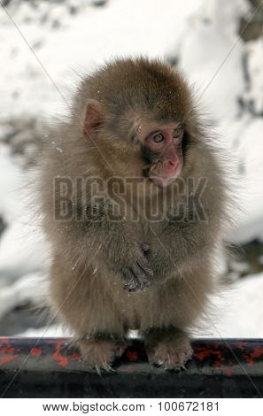 Snow monkeys macaque at the hot spring Nagano prefecture Japan