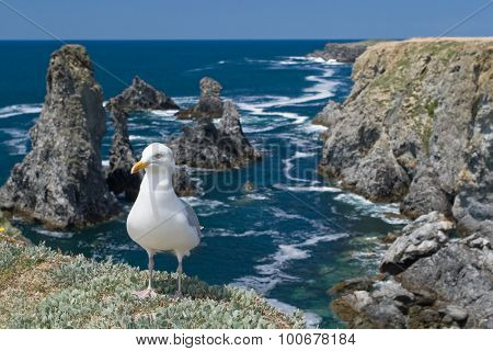 Portrait of gull in Aiguilles de Port-Coton Belle ile
