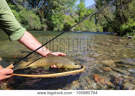 Closeup of brown trout fish caught in landing net