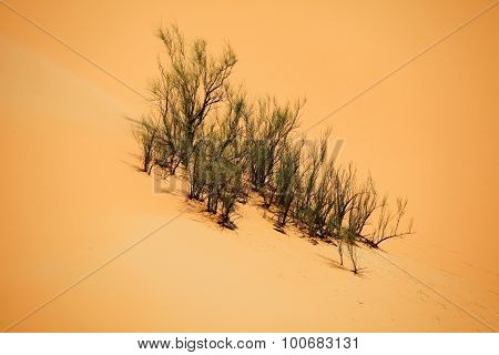 Surviving plants on the sand dunes of Liwa Oasis United Arab Emirates