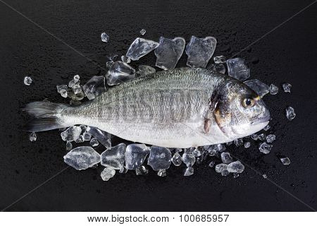 Raw gilt-head bream on ice. Raw Dorade on slate with crushed ice and water drops