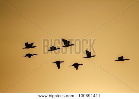 Indian Cormorant Flyiing In Sunrise, Sri Lanka