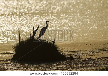 Great Egret Backlit In Sunrise, Sri Lanka