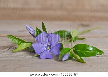 Beautiful Blue Flower Periwinkle On Wooden Background
