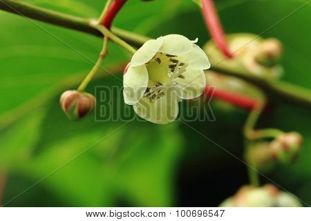 Kiwi Flowers
