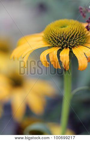 Echinacea - Now Cheesier